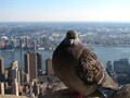 Dove at the Empire State Building