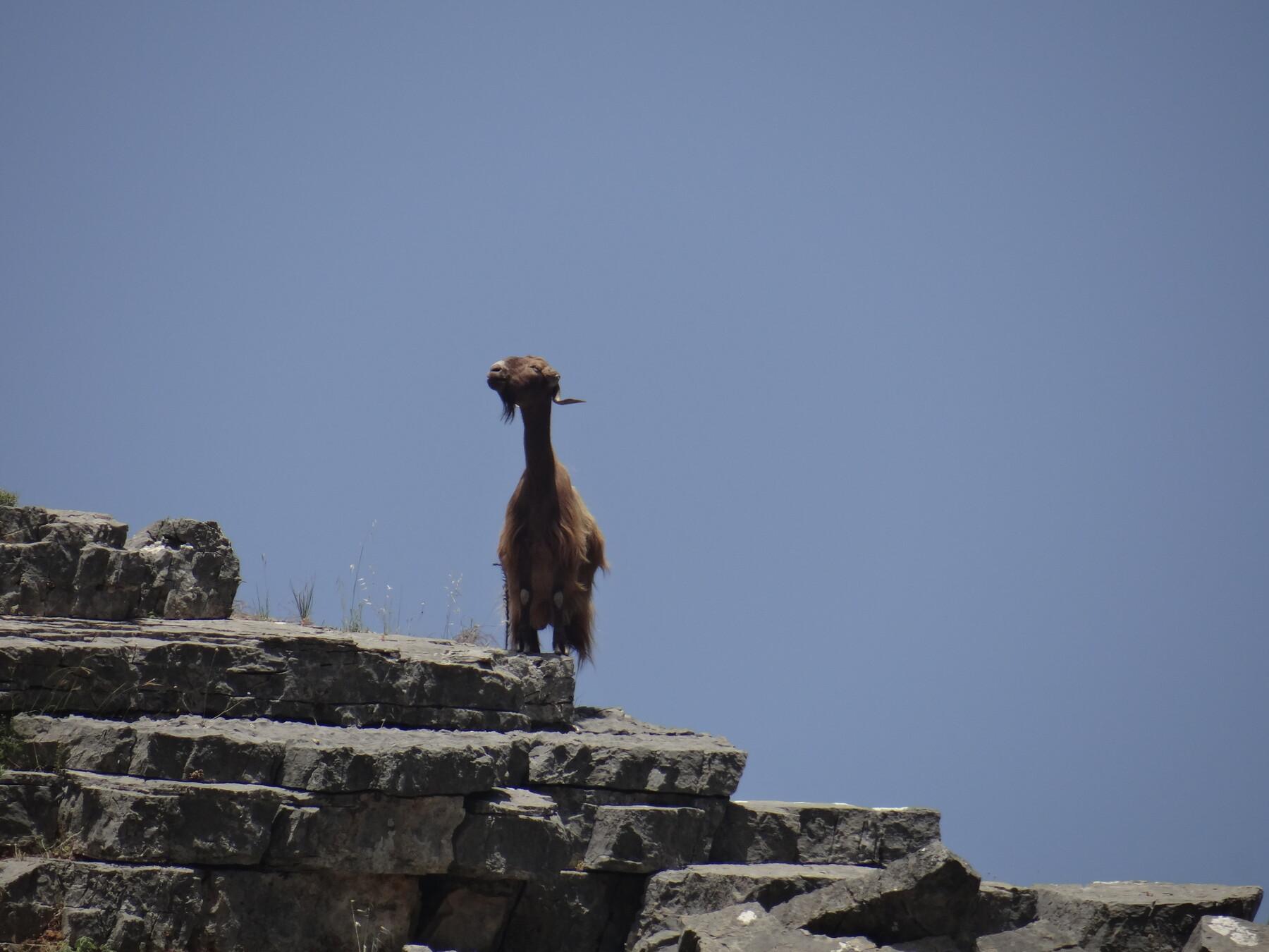 Guard Goat at Imbros Gorge ... b36c3ada7e