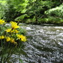 Flowers at Bode river (Harz)