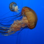 Jelly Fish at Monterey Bay Aquarium