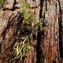 Moss on Giant Sequoia